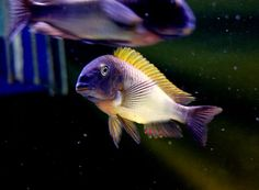 tropheus nkonde bright yellow