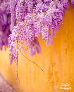 Flower Photography Wisteria Photography Nature by hellotwiggs, $30.00