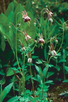 Aquilegia viridiflora 'Chocolate Soldier'