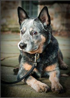 Australian Cattle Dog named Rex. He looks alot like my Otis!