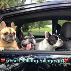 French bulldog village