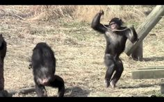 News Videos & more -  Watch the Funniest Videos on youtube - Funny animal : chimpanzee videos #Funny #videos on #youtube #Music #Videos #News Check more at http://rockstarseo.ca/watch-the-funniest-videos-on-youtube-funny-animal-chimpanzee-videos-funny-videos-on-youtube/