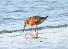 Endelave - maj 2015 Limosa lapponica - Lille Kobbersneppe - Bar-tailed Godwit