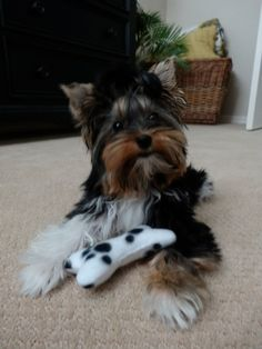 Doozie is a Biewer Yorkshire Terrier Ala Pom Pon Biewer Yorkie, Teacup Yorkie, Yorkie Puppy, Cute Puppies, Cute Dogs, Dogs And Puppies, I Love Dogs, Puppy Love, Cutest Puppy