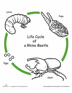 Worksheets: Color the Life Cycle: Rhino Beetle Science Worksheets, Science Activities, Sequencing Activities, Circle Of Life, The Life, Montessori, Cycle For Kids, Rhino Beetle, Activities For Boys