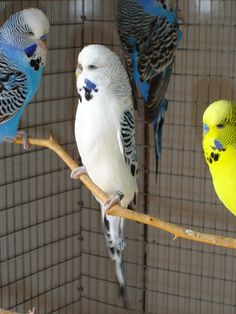 Texas Clearbodies - Talk Budgies Forums