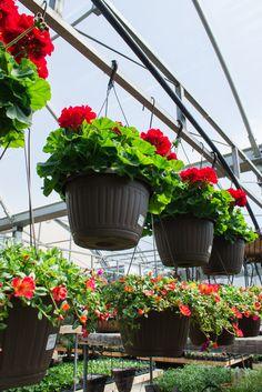 Beautiful hanging baskets! #GardenCentre #Glasshouse #Chatham - Visit http://www.glasshousenursery.ca