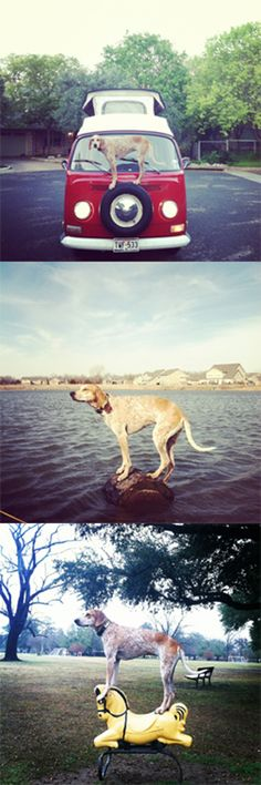 Planking, evolved: Coonhounds standing on things. (This is Maddie) #meme #dog