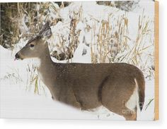 Deer Catching Snowflakes Wood Print by Amy Sorvillo.  All wood prints are professionally printed, packaged, and shipped within 3 - 4 business days and delivered ready-to-hang on your wall. Choose from multiple sizes and mounting options.