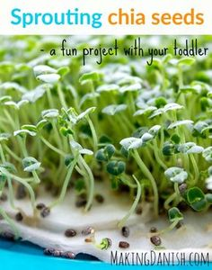 Sprouting chia seeds – a fun project with your toddler that teaches them about. Sprouting chia see Growing Sprouts, Growing Microgreens, Growing Seeds, Growing Plants, Growing Vegetables, Chia Seed Plant, Planting Seeds, Seeds Preschool, Gardening