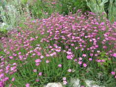 Carnations, Geraniums, Diy And Crafts, Flora, Asia, Gardening, Ideas, Home, Garden Fencing