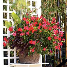 100 Creative Container Gardens   Beat the Heat   SouthernLiving.comThe ideal focal point or space filler in an area that receives full to partial sun, this container is filled with 'Baby Tut' dwarf papyrus, elephant's ear, 'Blackie' sweet potato vine, and 'Vogue Audrey' mandevilla.