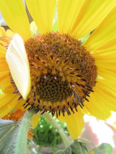 beauty in the sunflower