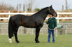 Irish Draught Stallions | Irish Draught - stallion Coalmans Touch RID | Horses
