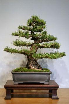 Pinus-silvestris-2.jpg (600×900)