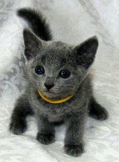 My favorite kitties, Russian Blue