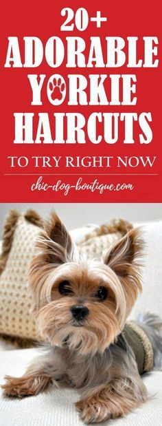 Yorkie Haircuts: MUST-see pictures of adorable yorkie hair styles and yorkie haircuts for females and males for your pet's next grooming appointment. Terrier Poodle Mix, Yorkie Poodle, Teacup Yorkie, Yorkie Puppy, Biewer Yorkie, Terrier Dogs, Yorkie Poo Haircut, Yorkie Cuts, Yorkshire Terrier Haircut