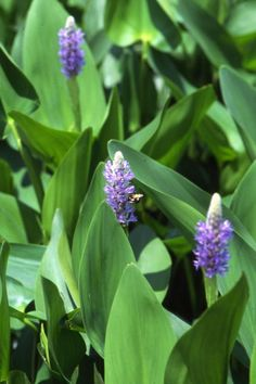 Invite hummingbirds to your pond with the violet-lavender flowers of purple pickerel (Pontederia cordata). This fast-growing plant blooms from spring to fall in sun to part shade. Also known as pickerel rush or pickerel weed, it grows in water about a foot deep.