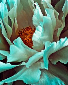 Peony Flower ...Photography by Chris Lord  (Evokes the feel of a Georgia O'Keefe painting...Miracle Flower)