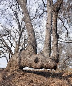 What Is An Indian Marker Tree, And How Were They Used? (Photos) good article...learned something new !