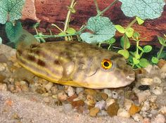Fahaka Puffer, Tetraodon Lineatus, a freshwater Puffer Fish Terrarium Tank, Glass Aquarium, Beautiful Fish, Exotic Fish, Freshwater Aquarium, Fresh Water, Fish Fish, Aquariums, Amphibians