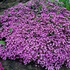 Såpnejlika Flower Beds, Planting, Gardening, Garden Plants, Flower Power, Nature, Flowers, Outdoor, Image