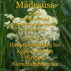 Mädesüss - Filipendula ulmaria Meadowsweet was one of the three sacred herbs of the Druids. Hydrangea Seeds, Hydrangea Care, Edible Wild Plants, Real Plants, Top Digital Cameras, Artemisia Absinthium, Tired Of Trying, Herbal Essences, Plant Therapy