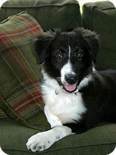 Princeton, MN - Border Collie Mix. Meet Jude a Puppy for Adoption.