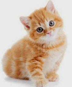 Orange American Wirehair Cat