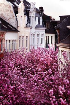 Heerstrasse, Bonn, Germany. Also known as the Cherry Blossom Avenue