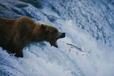 Wow what a great photo, one in a million shot. A grizzly bear opens wide for a mouth full of salmon the Brooks Falls fishing grounds. National Geographic photograph by Joel Sartore, Brooks Falls, Katmai National Park And Preserve, Alaska. National Geographic Fotos, Photographie National Geographic, National Geographic Photography, Beautiful Creatures, Animals Beautiful, Cute Animals, Wild Animals, Baby Animals, Ours Grizzly
