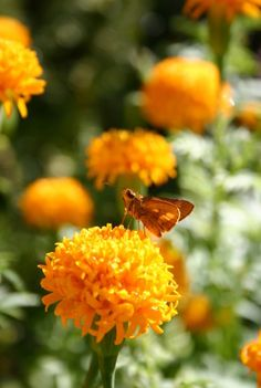 marigolds, annual for butterfly