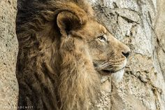 LION KING by Wolf Ademeit, via 500px