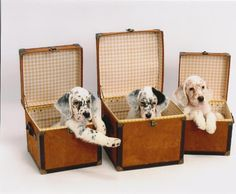English setter puppies :) (Fingers crossed for Chloe and Chroi to make some this spring! I Love Dogs, Puppy Love, Dog Lover Gifts, Dog Lovers, English Setter Puppies, Red And White Setter, Irish Setter, Beautiful Dogs, My Animal