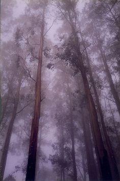 Mountain Ash grove, The Dandenongs, Australia