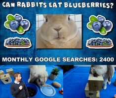 Bunbun take a closer look at this nutritious delicious treat called blueberries, wich happends to be her favourite snack, mmm Rabbit Eating, Rabbit Food, Can Rabbits Eat Blueberries, Rabbit Gif, Yummy Treats, Closer, Blueberry, Bunny, Snacks