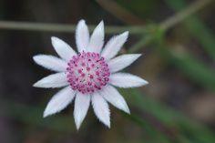 aboriginals and flowers - Recherche Google