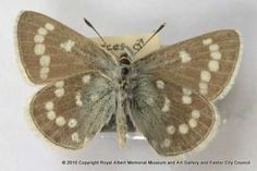 The xerces blue butterfly is extinct. This male was collected in San Francisco California in March 1931