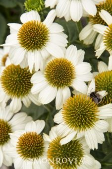 PowWow® White Coneflower - Monrovia - PowWow® White ConeflowerLarge, pure white flowers with a bright golden yellow centers will provide an excellent show from early summer right into fall, without deadheading! This exciting new introduction has a neat, compact habit, upright form and sturdy, well branched stems. Its prolific flowering habit makes it an ideal addition to beds, mixed borders and containers. Drought tolerant once established.