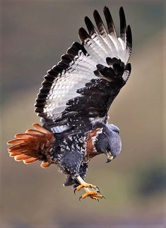 Jackal Buzzard ready to pounce.