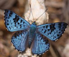 Borboleta azul - Blue butterfly - 05-04-2009 - IMG_0072 by Flávio Cruvinel Brandão, via Flickr