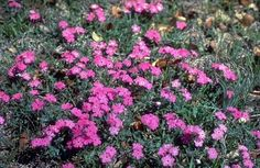 Phlox ground cover blooms in July.