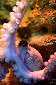 Octopus :: R Kurtz