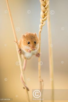 balancující mezi stvoly obilí, Harvest mouse (Micromys minutus) on wheat stem feeding Bird, Cute, Outdoor, Animals, Painting, Ideas, Animales, Outdoors, Animaux