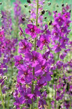 Buy purple mullein Verbascum phoeniceum 'Violetta': Delivery by Crocus.co.uk