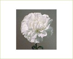 Condor - Standard Carnation - Carnations - Flowers by category | Sierra Flower Finder