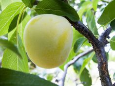 The Green Gage is a very popular old fashioned English plum that grows well over a wide range of climates. It is a greenish-yellow, very sweet and juicy plum. The self-fertile Green Gage plum produces heavy crops that ripen in July. Order now due to very limited supply.(300-400 Chill Hours)  Grows in zones: 5 - 9.
