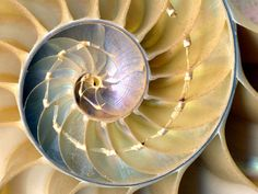 Spiral of the Life, Universal Symbol. Spiral Your Life.Ascend to Your Highest Potentials, fulfill them, Live them. Be Your Authentic Self. Linear Pattern, Spiral Pattern, Patterns In Nature, Textures Patterns, Beautiful Patterns, Beautiful Images, Nautilus Shell, Sound Healing, Ammonite