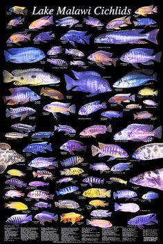Lake Malawi Cichlids - I've got some of these guys in my aquarium. Cichlid Aquarium, Cichlid Fish, Discus, Malawi Cichlids, African Cichlids, Freshwater Aquarium Fish, Saltwater Aquarium, Fish Chart, Pet Fish