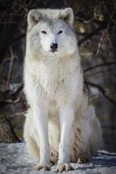foreverthel0newolf:   Gray wolf by Jacques-Andre Dupont